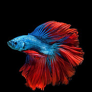 Рыбы петушок Самарканд